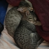 二匹の可愛いトラ猫ちゃんの里親さん募集中です!