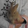 生後2ヶ月 茶色毛 ミニウサギ
