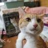 あまあま♥手足の長い茶白猫チャムくん里親募集