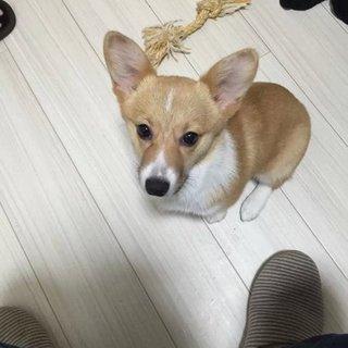 コーギー(四ヶ月)可愛いの女の子です。