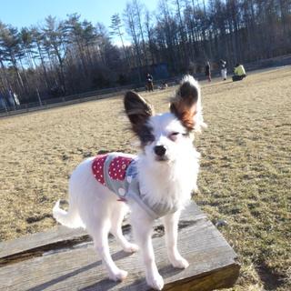 ブリーダー放棄の子犬の家族募集
