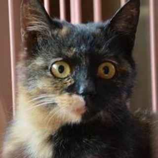 家猫修行中☆ビビりん子猫【シェル♀】