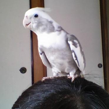 放鳥すれば定位置にとまるくぅ。そこは人の頭の上・・・(^_^;)