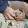 箱詰めの捨て兄妹子犬2ヶ月薄茶色<大阪府> サムネイル6