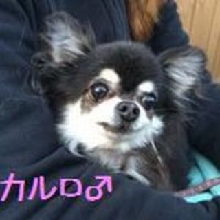 チワワのカルロ君(wan life)