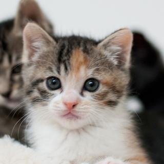 美形・シマ三毛子猫