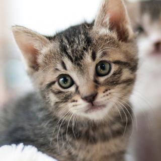 美形・キジ子猫♂スモーク♂とペアのみ譲渡可