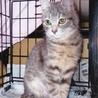 グレーのきじ猫のグレちゃんは美人さんです