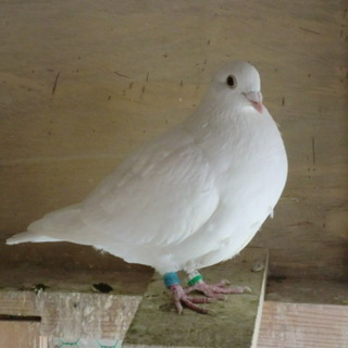 白系レース鳩