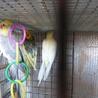 オカメインコ オス9歳3羽 一緒に飼って下さる方