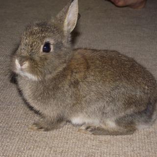 生後2ヶ月半 ミニウサギ