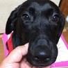 小柄な黒ラブ♀ 9ヶ月 血統書付