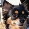 まるでタレント犬容姿端麗・性格も花丸チワワ・サリー