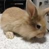 「交渉中:一旦停止」子ウサギの里親を募集しています