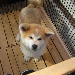 秋田犬オス生後4か月茶色