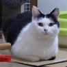 おひざ大好き、福々しい丸猫ぷーちゃん
