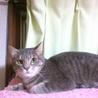 グレー美猫!人馴れイマイチ