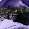 生後1ヶ月の7仔猫たち:内5猫さんの里親様決定 サムネイル2