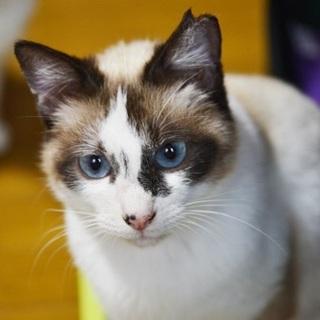 青い瞳の美猫さやちゃん