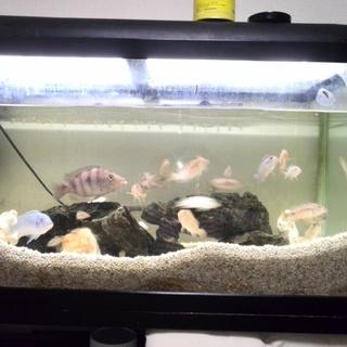 熱帯魚シクリッド