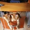 譲渡会参加★生後3ヶ月!茶トラの兄弟子猫♪