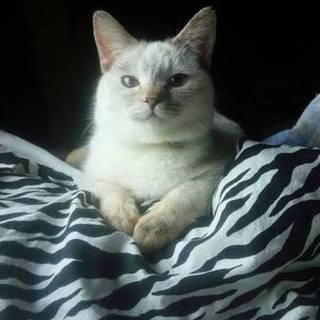 子猫のような性格のシャムmixの女の子