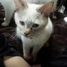 子猫のような性格のシャムmixの女の子  サムネイル2