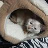 子猫のような性格のシャムmixの女の子  サムネイル3
