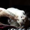 子猫のような性格のシャムmixの女の子  サムネイル6