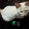 子猫のような性格のシャムmixの女の子  サムネイル7