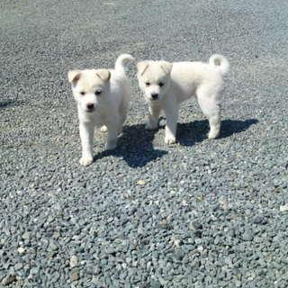 白い兄弟犬ホクトとハクト君