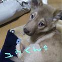 箱詰め遺棄の薄茶の子犬ユウくん<大阪府>