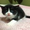 ■3月5日産まれの子猫■黒猫ハチワレ 男の子