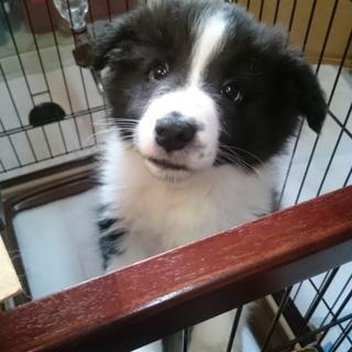 ボーダーコリーの子犬です