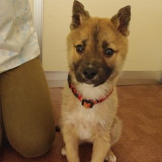 中型犬雑種 2ヶ月の女の子です