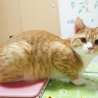元気な足長マンチカンです。」東京都 , 猫の里親募集(64184