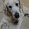 英国ゴールデン女子、3月22日で11歳に成りました サムネイル5