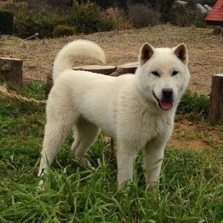 紀州犬 6ヶ月 オス