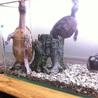 ミシシッピニオイガメ 2匹
