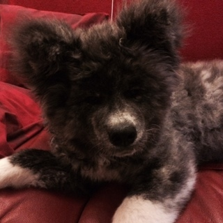 虎毛の秋田犬 6っヶ月の女の子