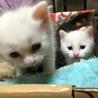 白猫額にグレーのブチ青い目の子猫2匹