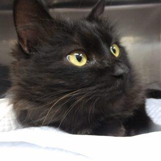 負傷猫ですが、性格はベタベタの甘えん坊黒長毛です。