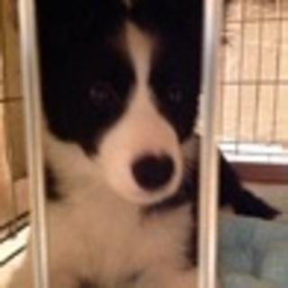 ボーダー子犬3ヶ月