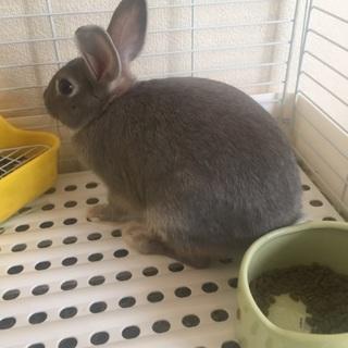ミニウサギの里親募集