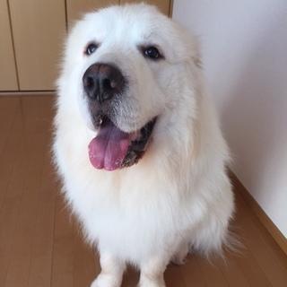 ピレネー犬の2歳男の子、飼い主さんを募集致します。