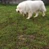 ピレネー犬の2歳男の子、飼い主さんを募集致します。 サムネイル2