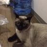 可愛い 猫 トンキニーズ 里親募集