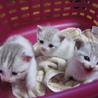 子猫3匹の里親を募集中
