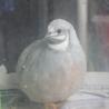 ヒメウズラ(グレー♂)若鳥