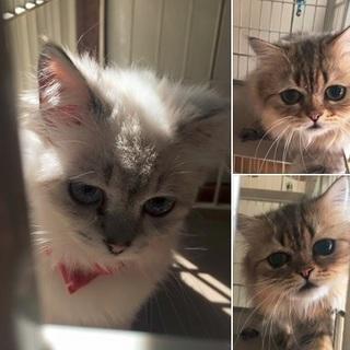 多頭崩壊ペルシャ猫